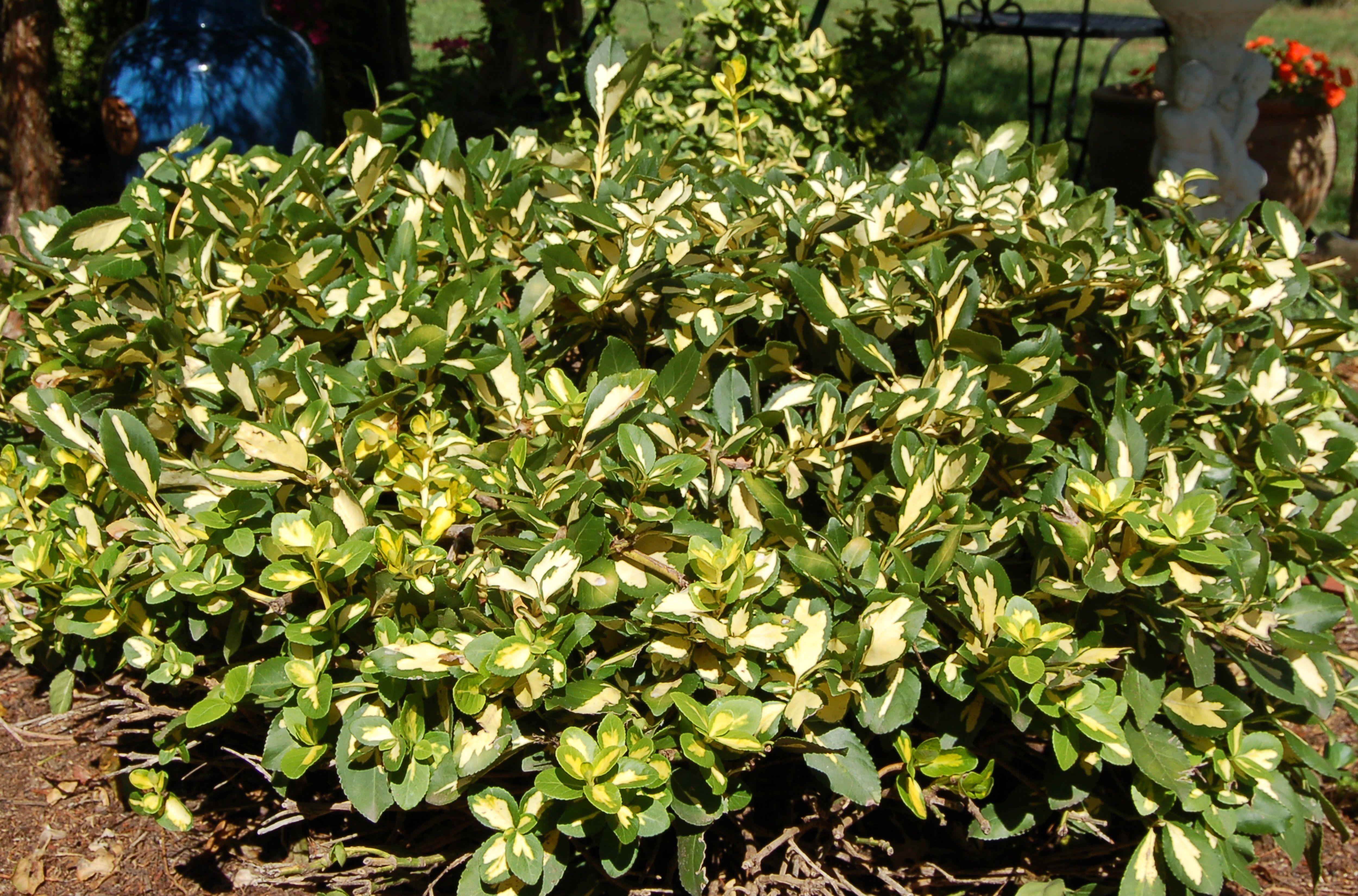 Luxury Low Maintenance Landscaping Shrubs