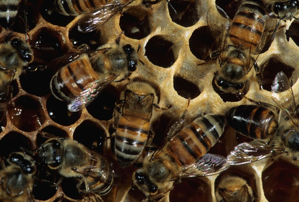 Worker African Honey Bees at work on the honeycomb.
