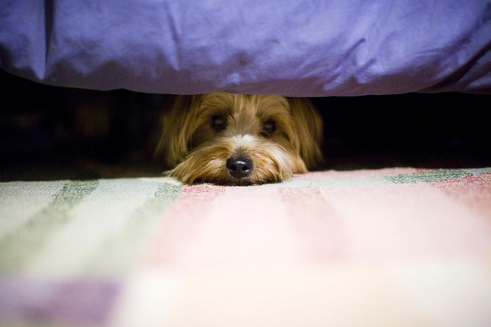 Scared Dog Under Bed