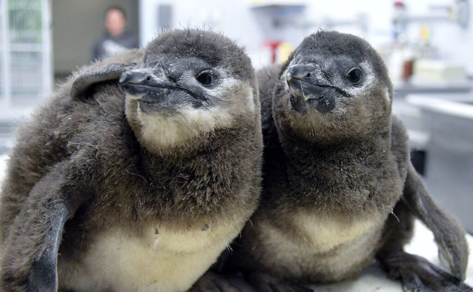 Two gray-and-white penguins