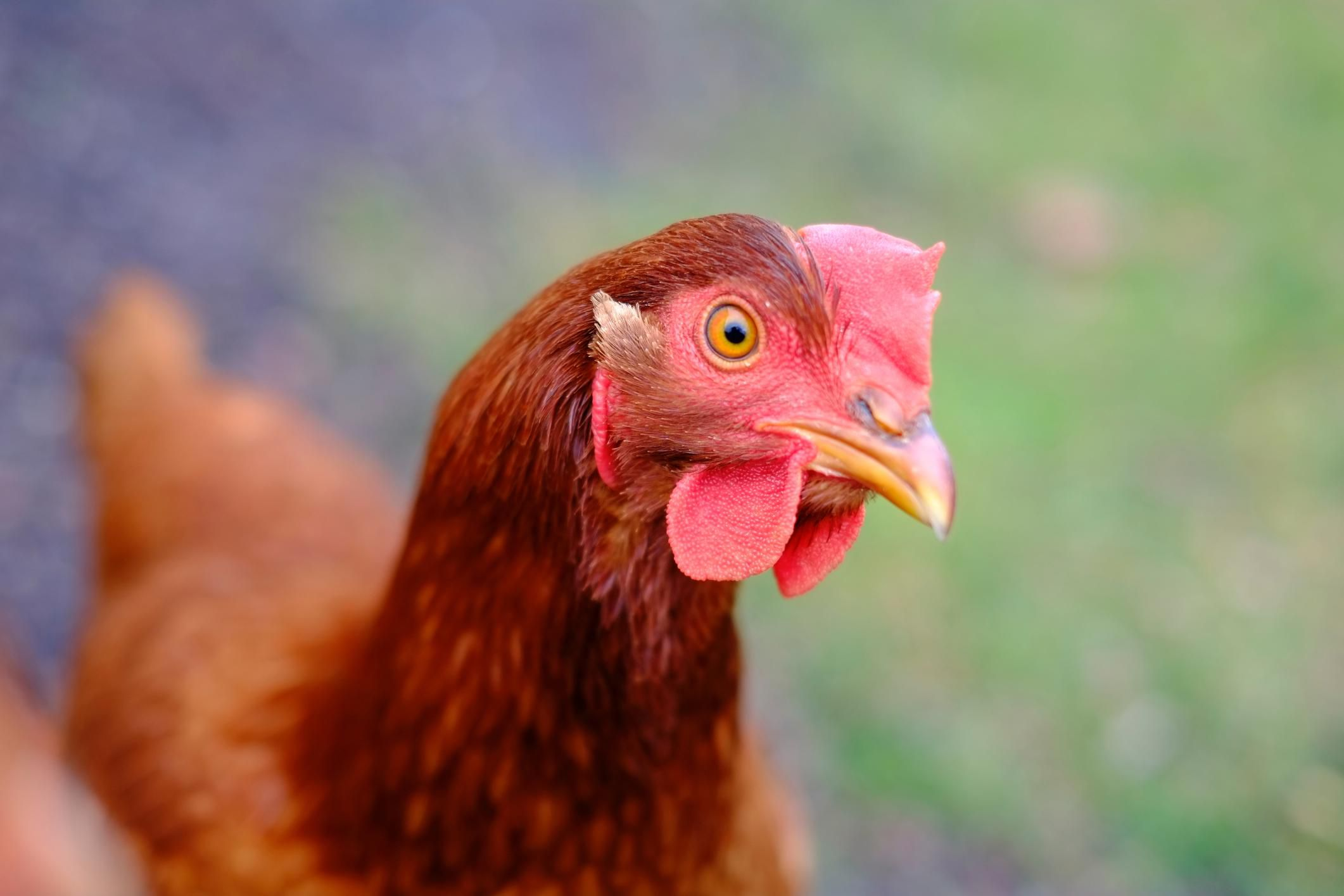 chicken breeds for the small farm or backyard flock