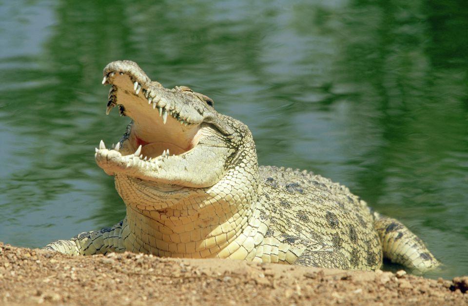 crocodile w/mouth open, half out of water, crocodilius park, darwin,aust