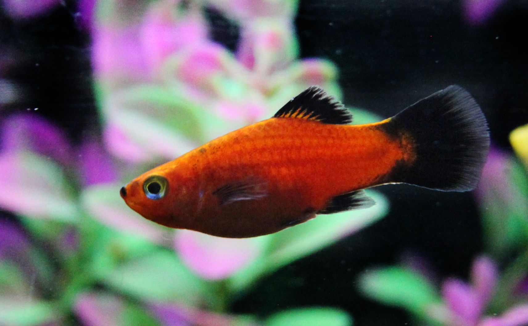 Red wagtail platy or xiphophorus maculatus for Platy fish breeding