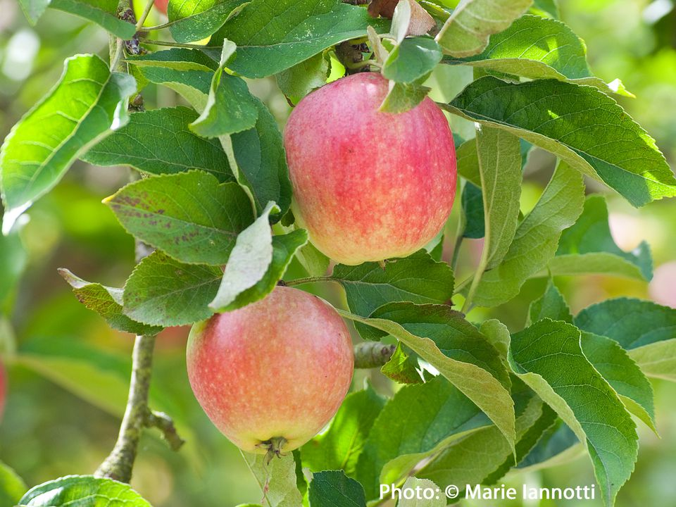 Apples on Trees, Ready to be Picked