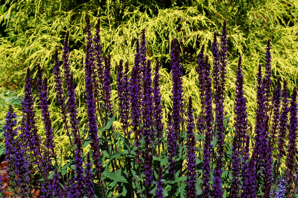 Caradonna salvia (image) is one of the darkest-flowered kinds. Its spikes look good against gold.