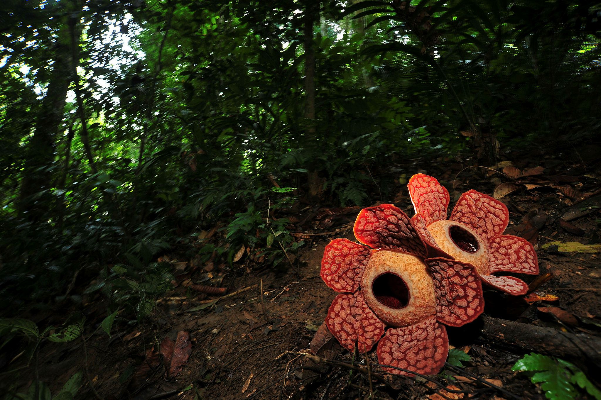 Where To Find The Rare Amp Heavy Rafflesia Flower