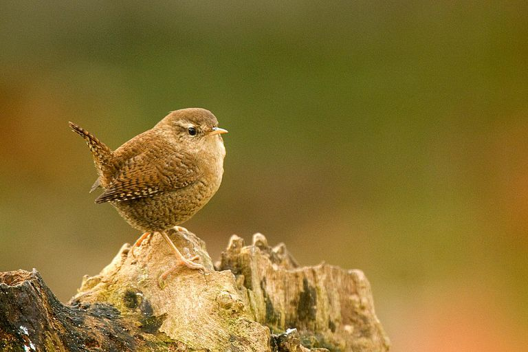 The Eurasian wren (Troglodytes troglodytes) is easy to identify by its stubby tail, which it often holds upright.