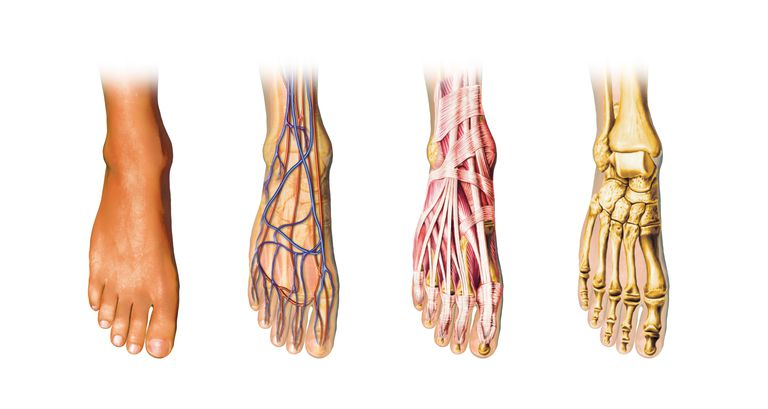 artwork of foot anatomy