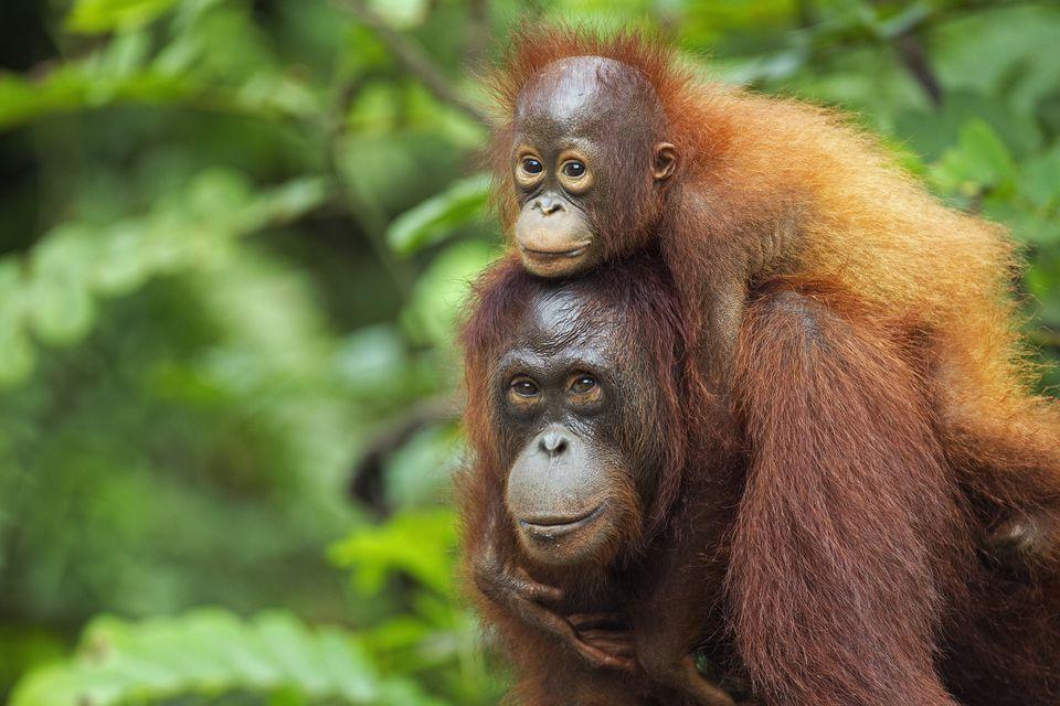 Orangutans in Borneo