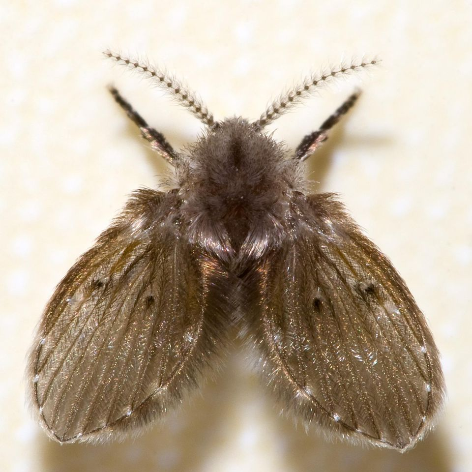Drain fly or Moth fly (Psychoda sp.)