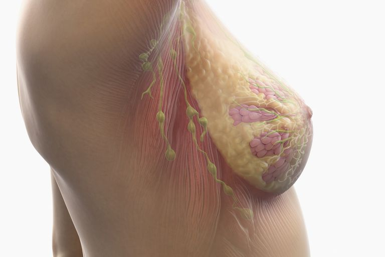 Female breast with internal anatomy including lymph nodes, alveoli, lobules ducts and muscle tissue