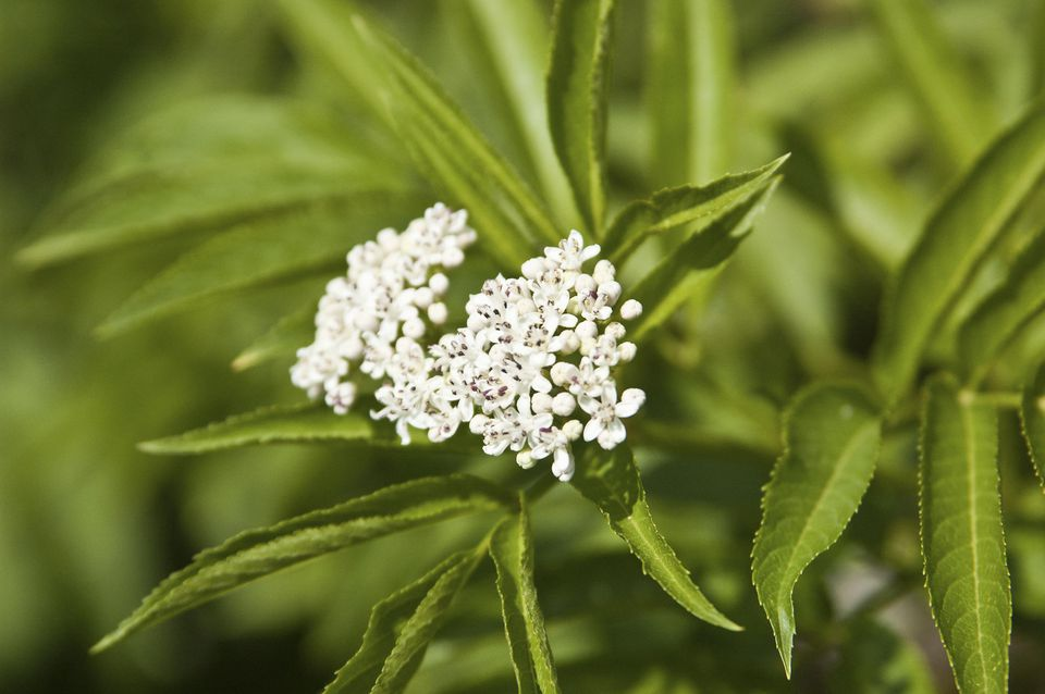 Blooming elder, Sambucus'