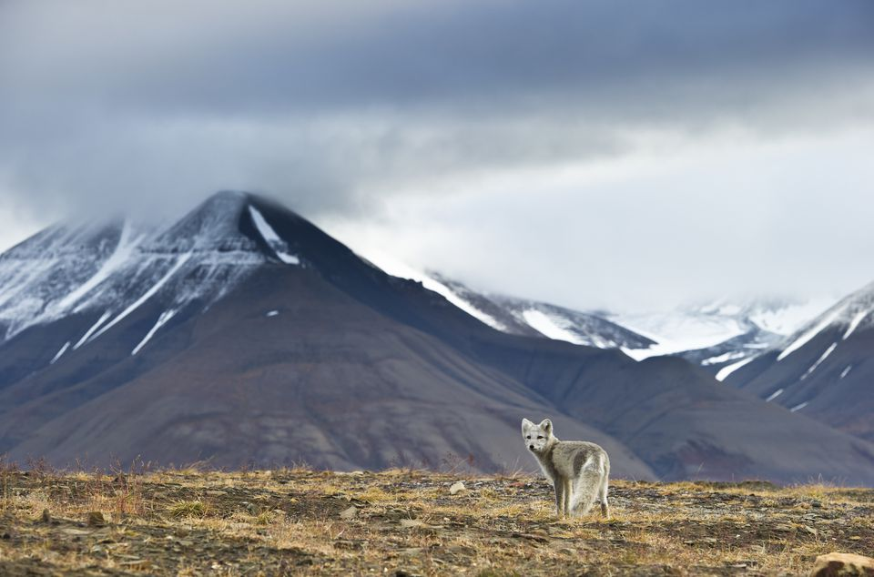 Arctic fox (Alopex / Vulpes lagopus) standing, near Longyearbyen, Spitsbergen, Svalbard, Norway, August