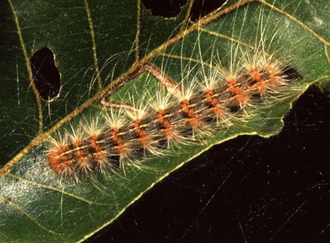Fall webworm caterpillar