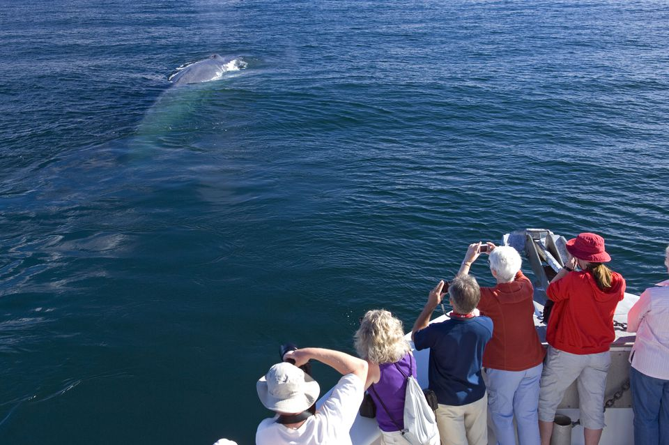 Whale watching or whalewatching - blue whale (Balaenoptera musculus). Baja California, Sea of Cortez (Gulf of California), Mexico. Endangered species. Fluking