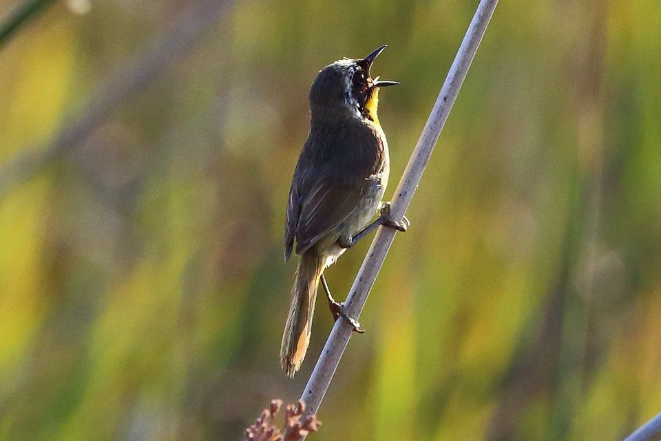 Hear Singing Birds At Dawn Learn Why They Do It
