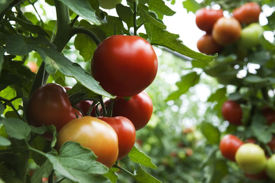 how to get more tomatoes from your plants