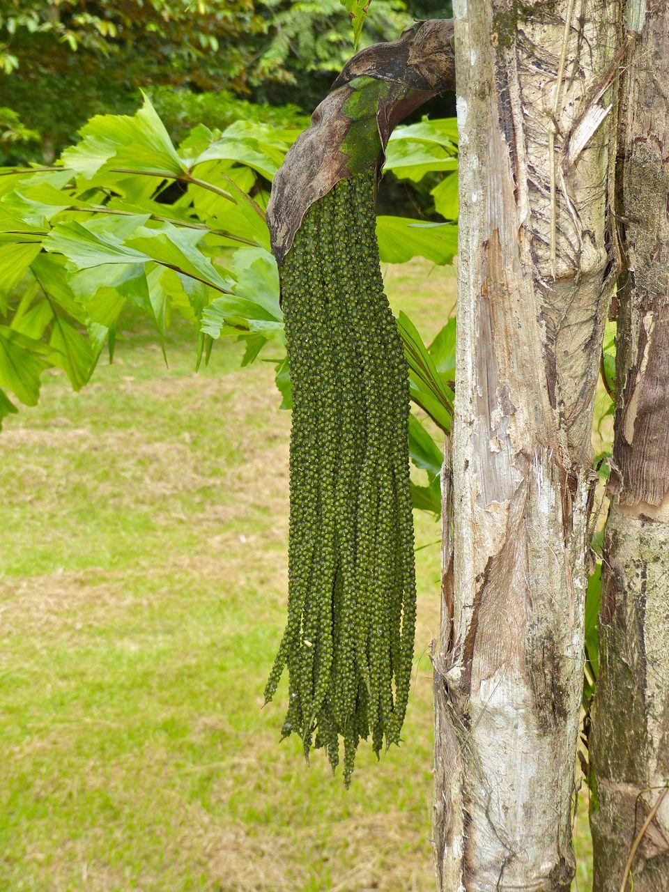 A closeup of a fishtail palm tree