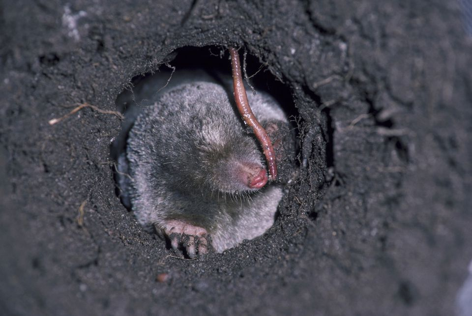 Mole in a hole eating a worm.