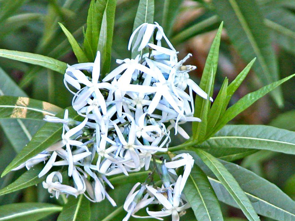 Blue Star (Amsonia) Flowers