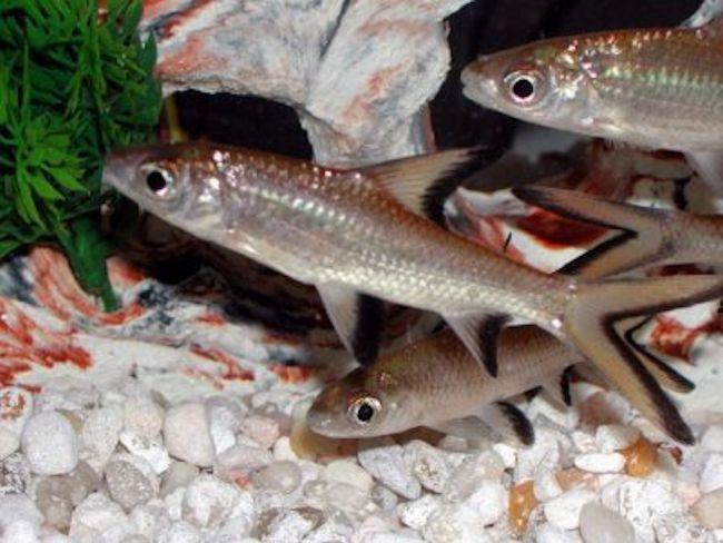 Balantiocheilus melanopterus - Bala Shark