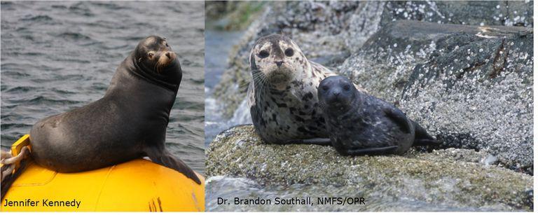 California Sea Lion and Harbor Seals
