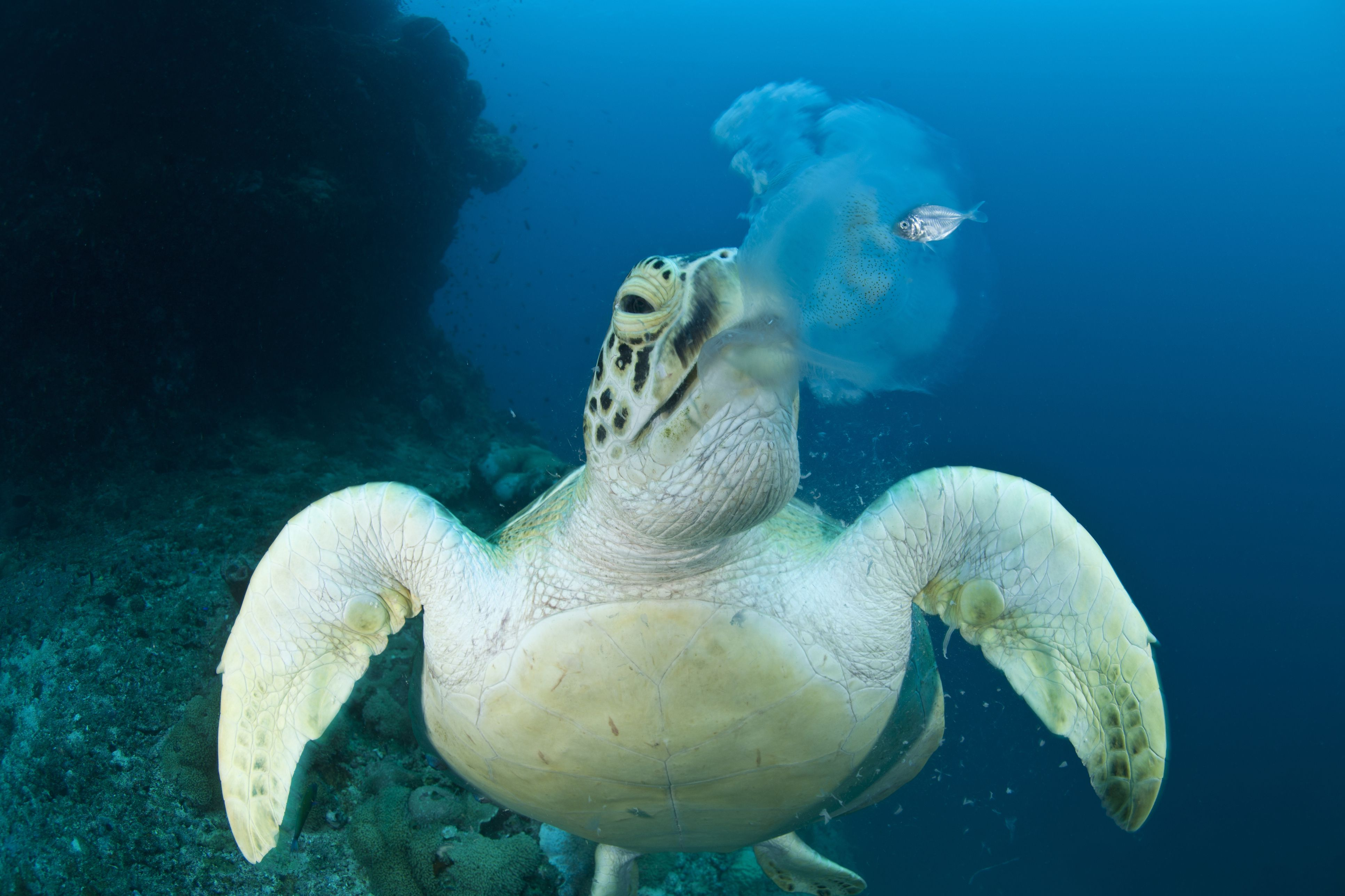 The varied diet of turtles for What do jelly fish eat