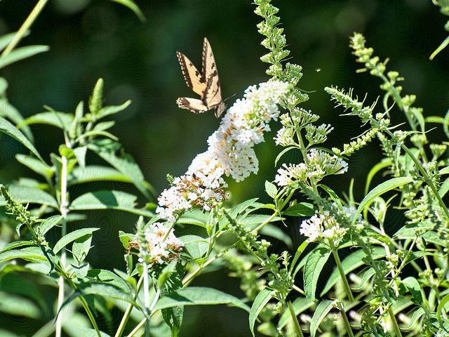 A swallowtail butterfly on a bush