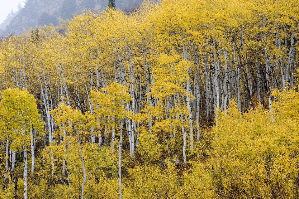 Fall Aspens (Populus tremuloides) in White Pine Canyon area, Little Cottonwood Canyon, Uinta Wasatch Cache National Forest near Salt Lake City, Utah, USA