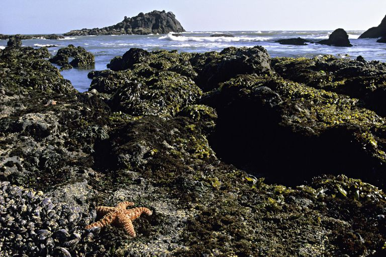 Ochre Sea Star, Pisaster ochraceus, Califonria mussels, and brown algae in intertidal zone at low tide, Oregon, USA