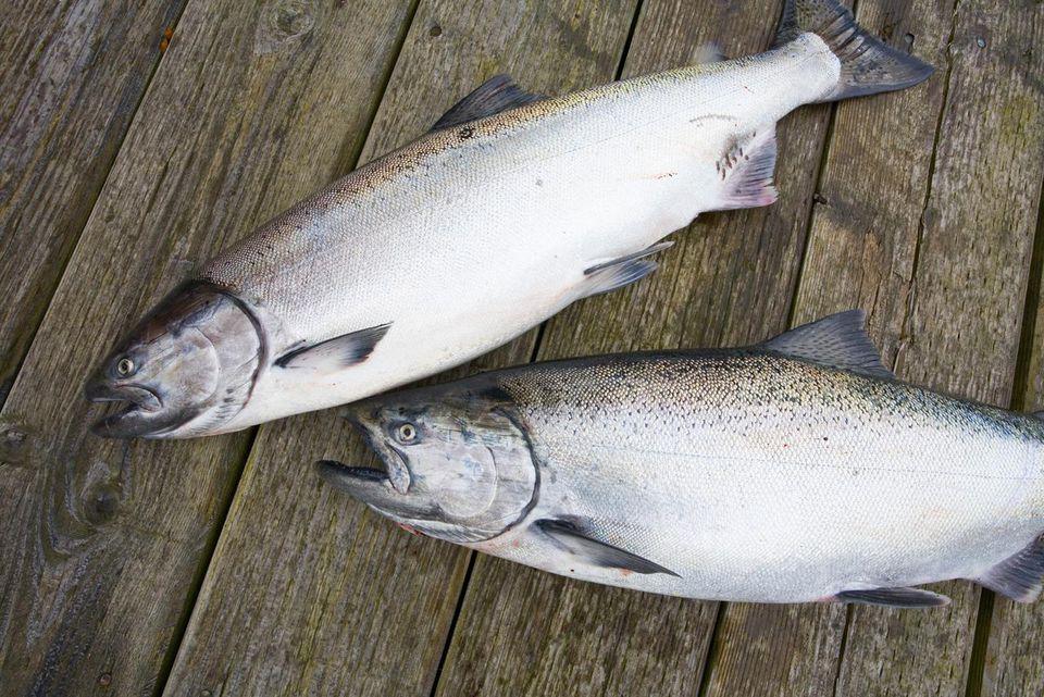King Salmon sport catch, Southeast Alaska. USA