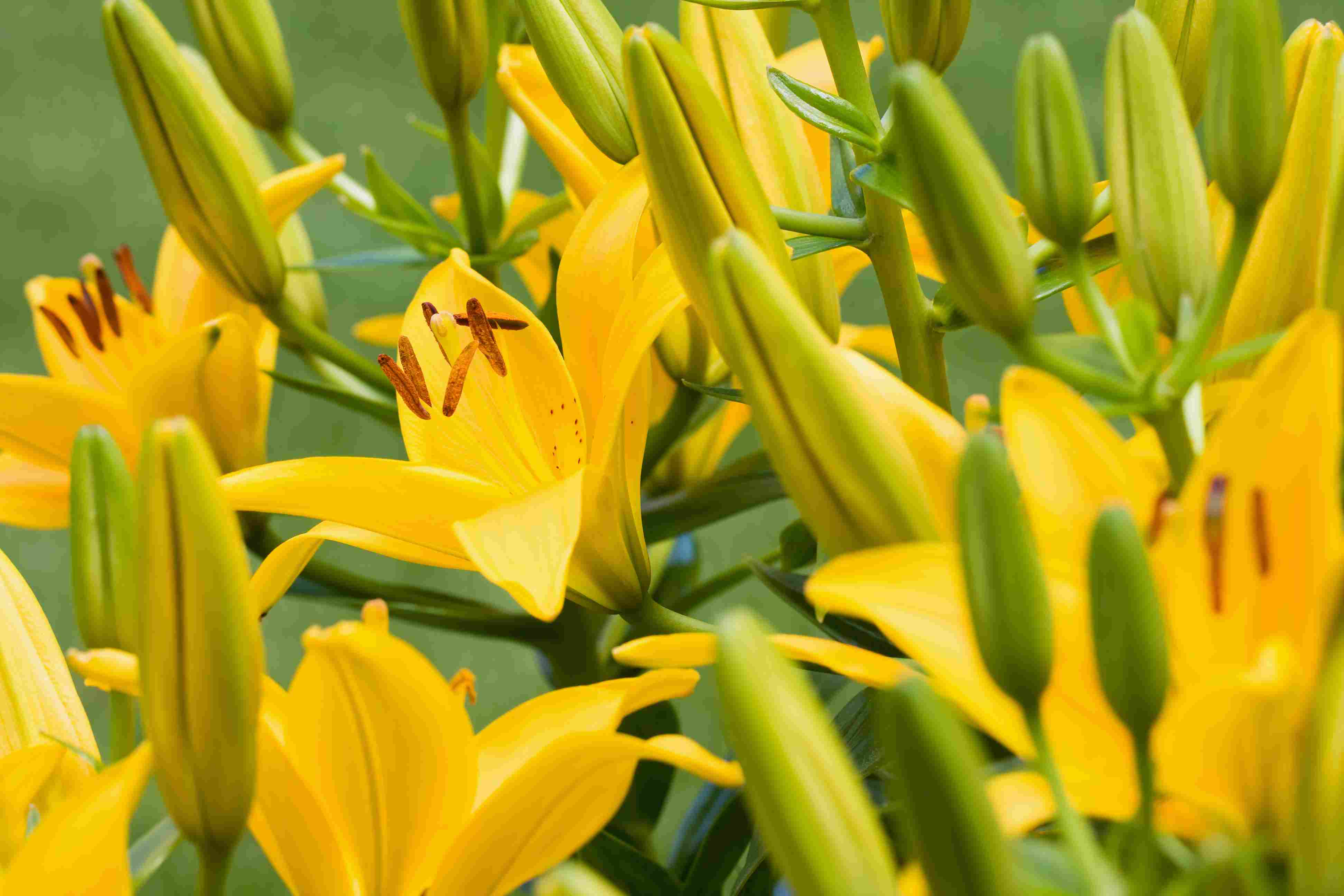 14 stunning lily varieties to plant izmirmasajfo Image collections