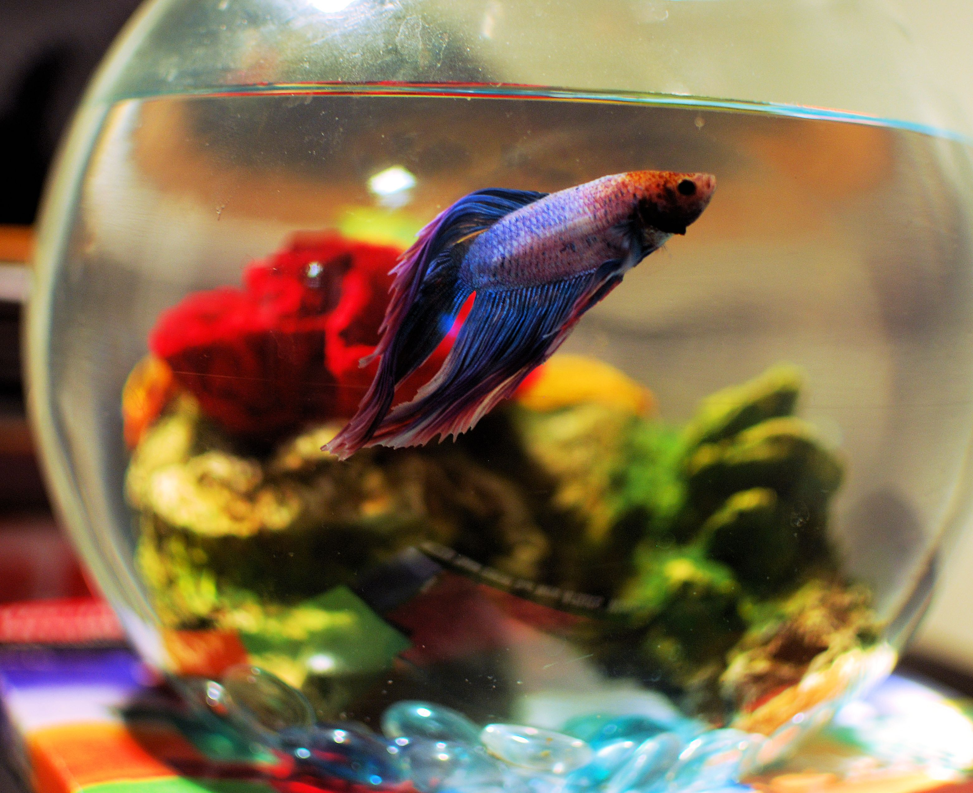 The best environment for a betta for Beta fish bowl