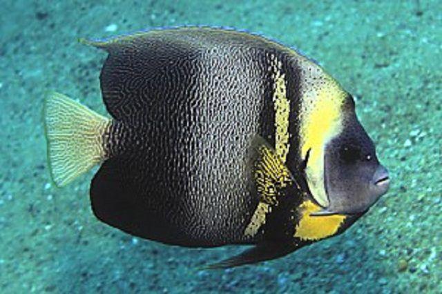 Cortez Angelfish (Pomacanthus zonipectus)