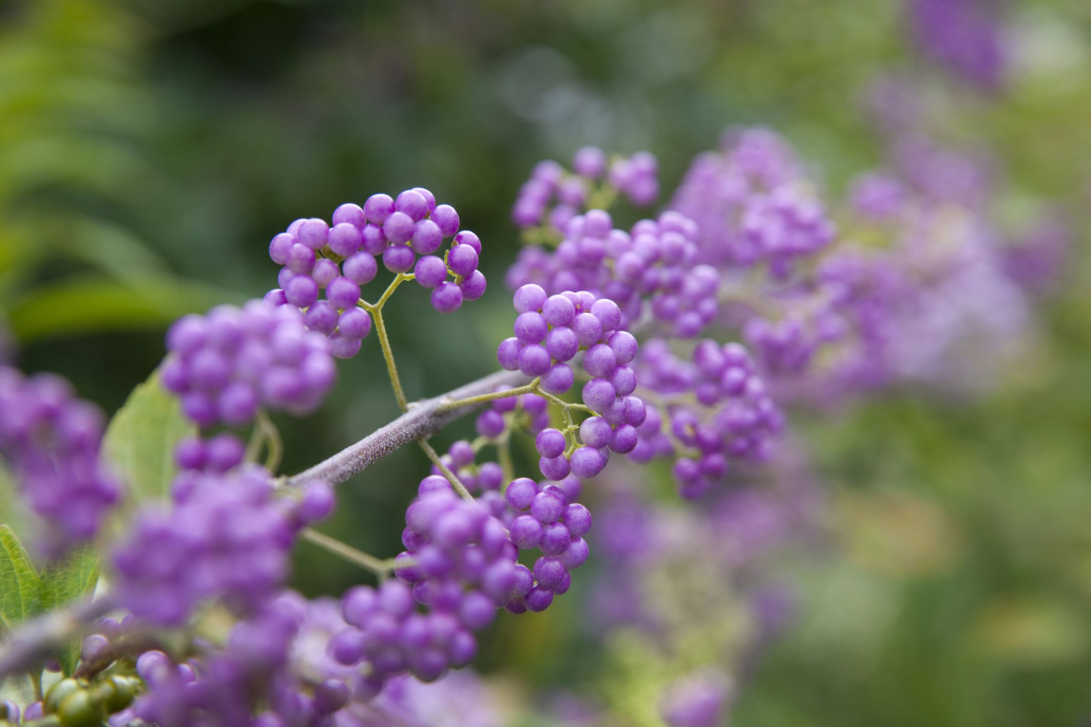 How To Grow Purple Beautyberry Shrubs In Your Yard
