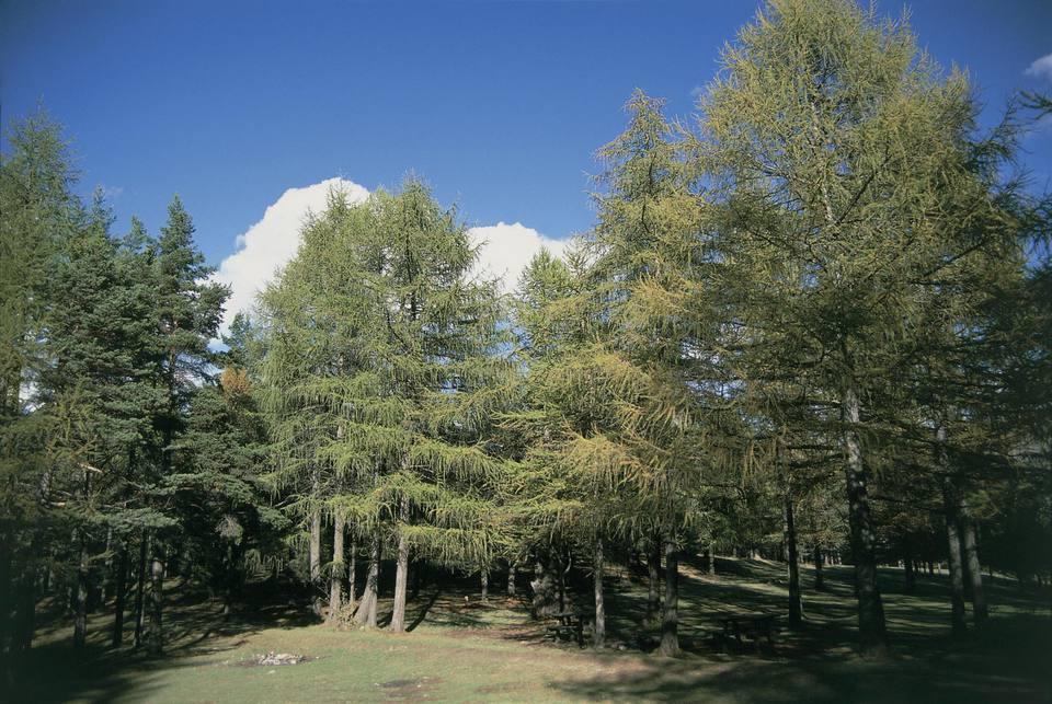 European Larch trees on a landscape (Larix decidua)