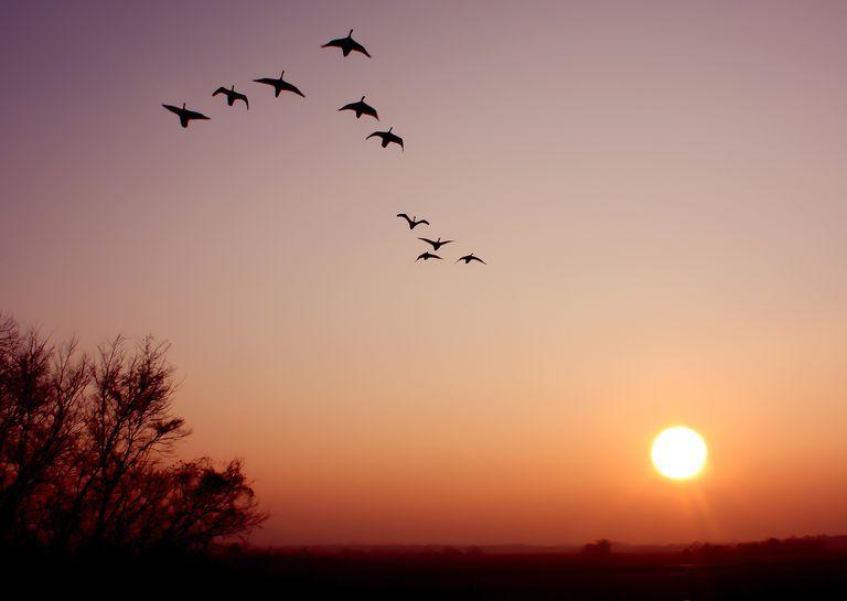 swan formation