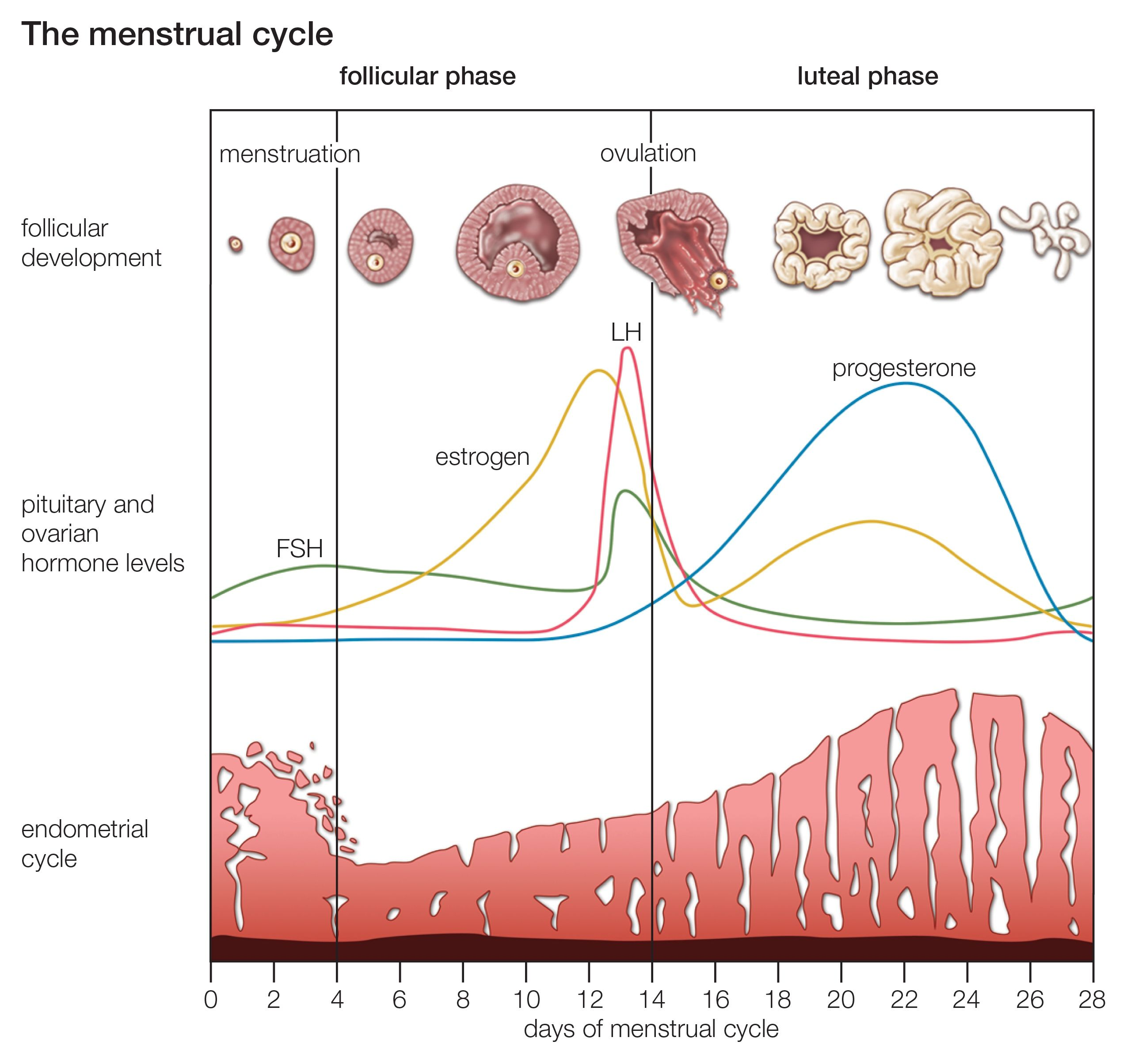 What Happens During Your Menstrual Cycle