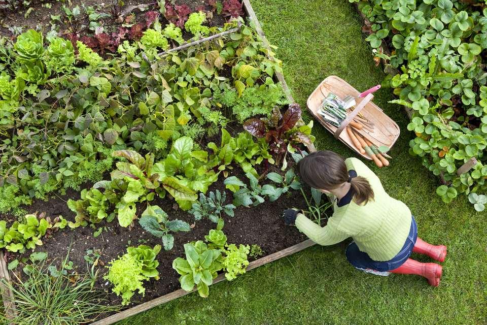 Overhead Shot of Woman Digging in a Vegetable Garden