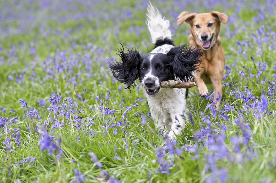 Dogs playing in England