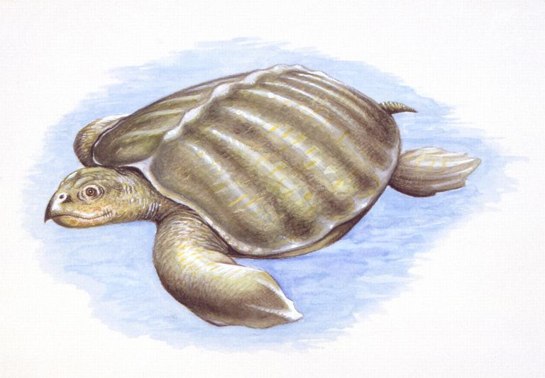 Illustration of Archelon, the Leatherback Turtle's Closest Prehistoric Relative