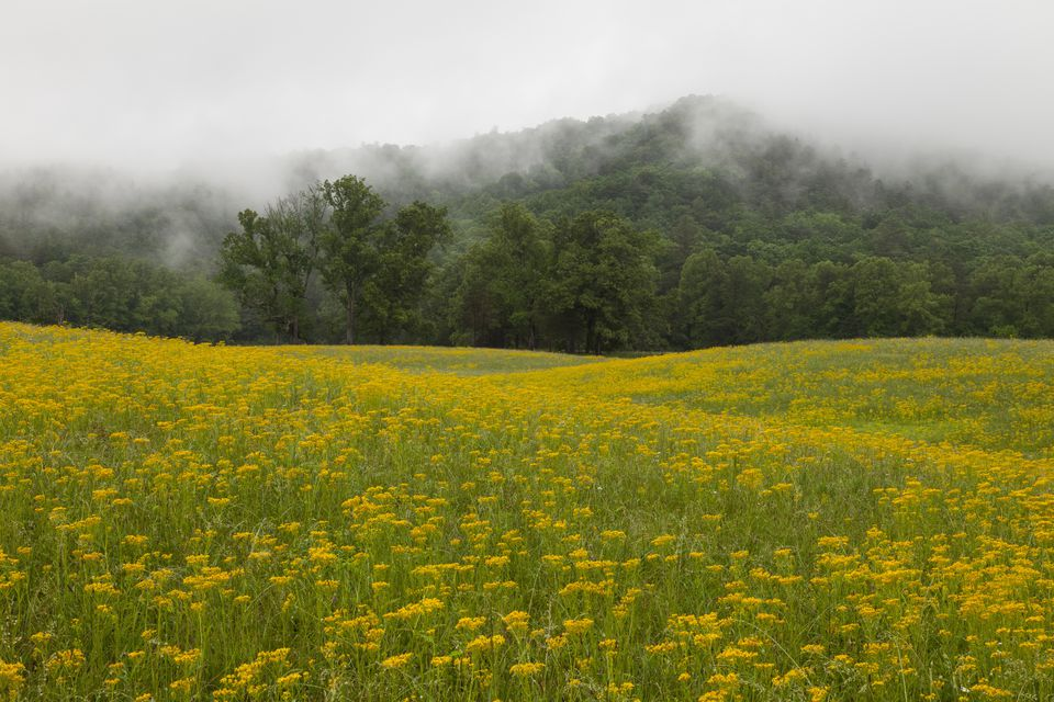 Field of wildflowers, Great Smoky Mountains