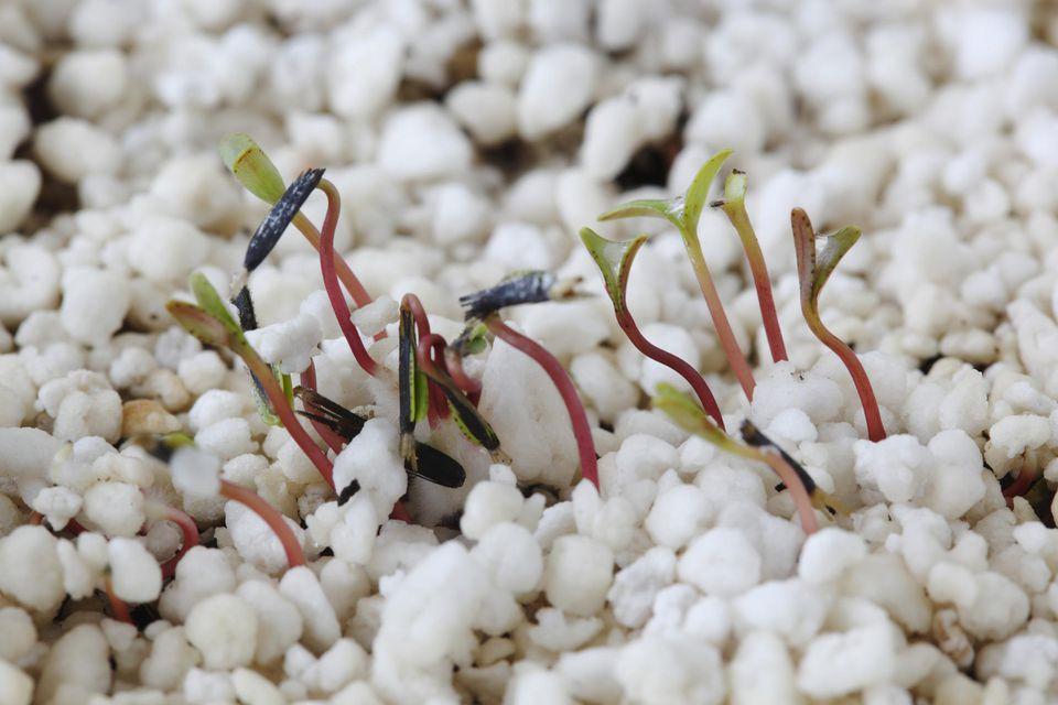 French marigold seedling (Tagetes) growing through layer of perlite, April