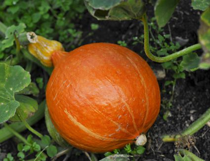 an analysis on how to grow your own great pumpkin for halloween Growing any record-breaking vegetable is a matter of both choosing seeds with   you put on your doorstep for halloween they're a variety called dill's atlantic  giant  it wasn't until the late 1970s, though, that giant pumpkin growing   tissue from the leaf stalks or leaves and send them to labs for analysis.