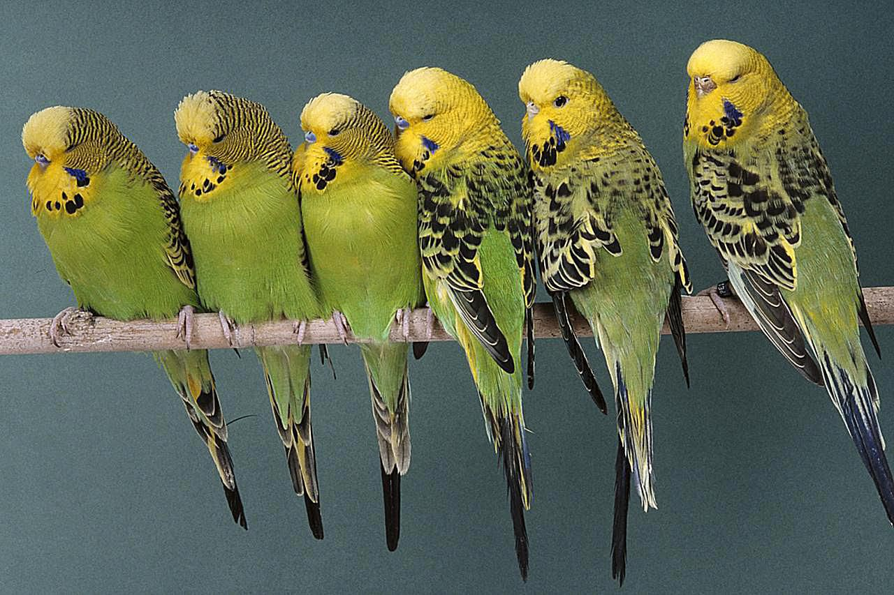 a list of 5 types of small parrots