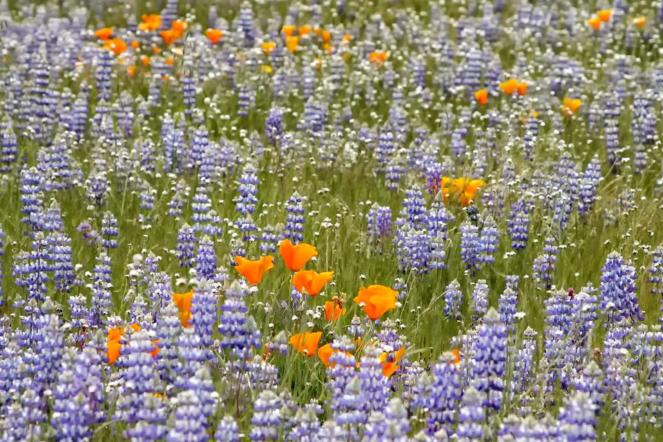 Spring Wildflowers in the Valley of the Oaks