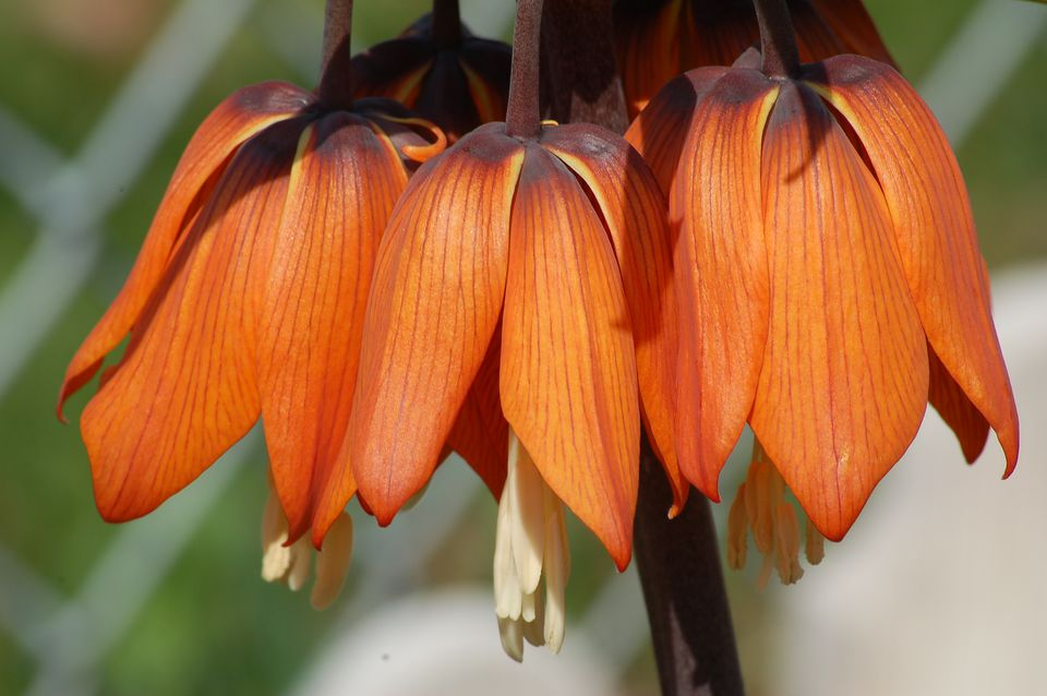 Regal-looking crown imperial shown in photo. Despite its beauty, it stinks to high heaven!