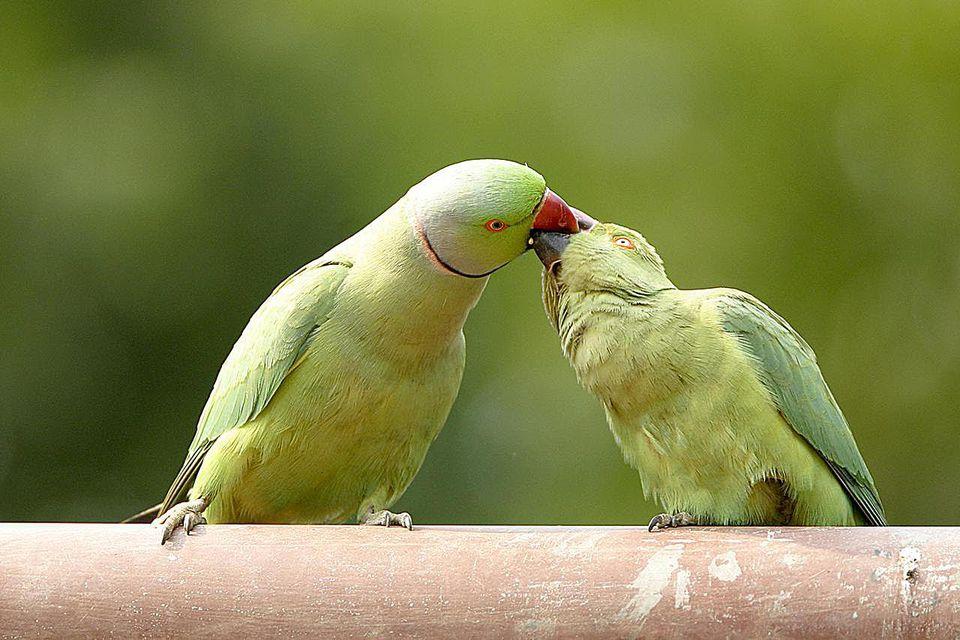Mating Ritual Of Rose-Ringed Parakeets Psittacula Krameri, Ranthambore Tiger Reserve National Park, Rajasthan, India