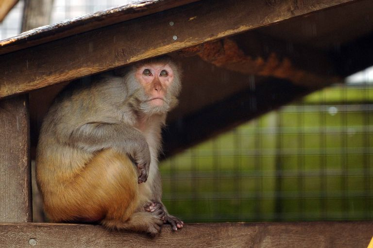 Harlow's research involved working with rhesus monkey's