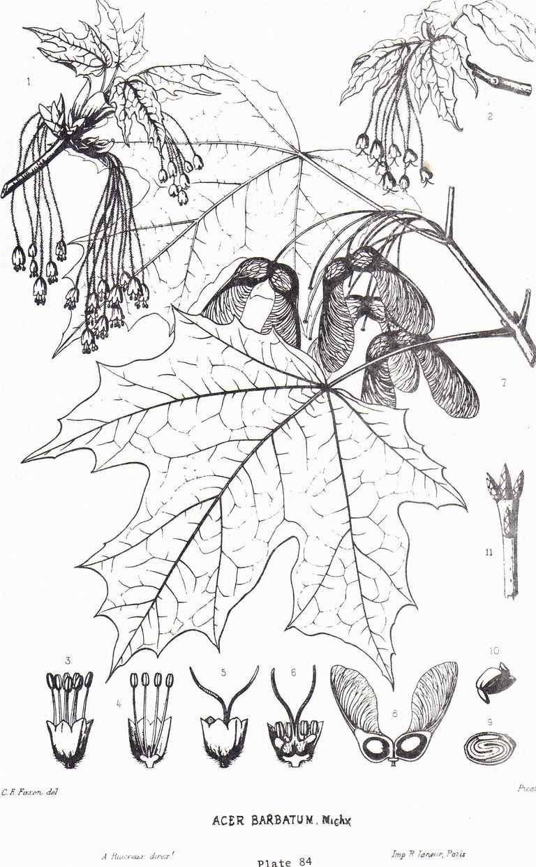 Common trees of the eastern united states botanist charles sprague sargents tree illustration collection sugar maple acer saccharum charles sprague sargent illustration sciox Choice Image